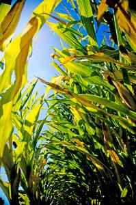 Corn-Field (1)
